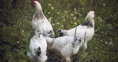 Niedersachsens Landwirtschaftsminister Meyer ruft die Geflügelhalter zur Vorsicht auf. Foto: pixabay (Symbolbild)