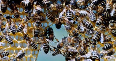 Bienen weiterhin auf Drogenentzug