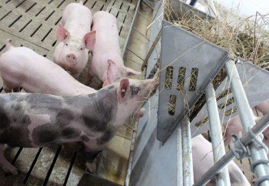 Schweinefleisch: Wermutstropfen trotz Exportboom