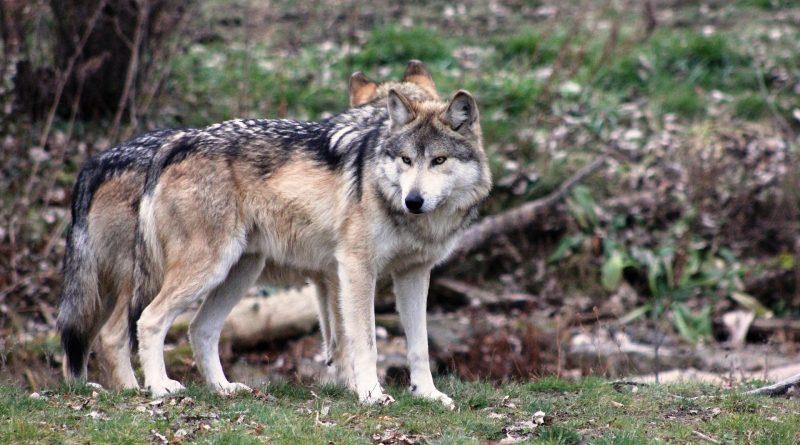 Wölfe: Auf Weidetierhalter kommen immense Kosten zu