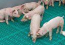 Tierschutzbund fordert sofortiges Ende der betäubungslosen Kastration