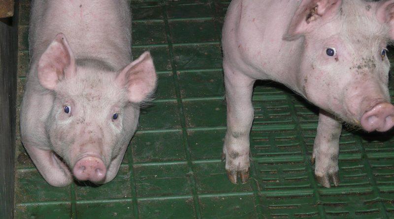 schweinepest-verordnung