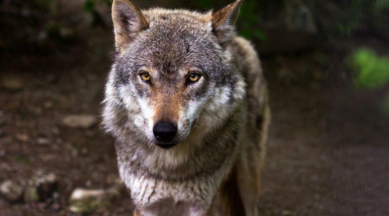 Wolfsrisse nehmen drastisch zu