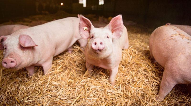 Tierwohl: Untersagt die EU freiwillige Standards?