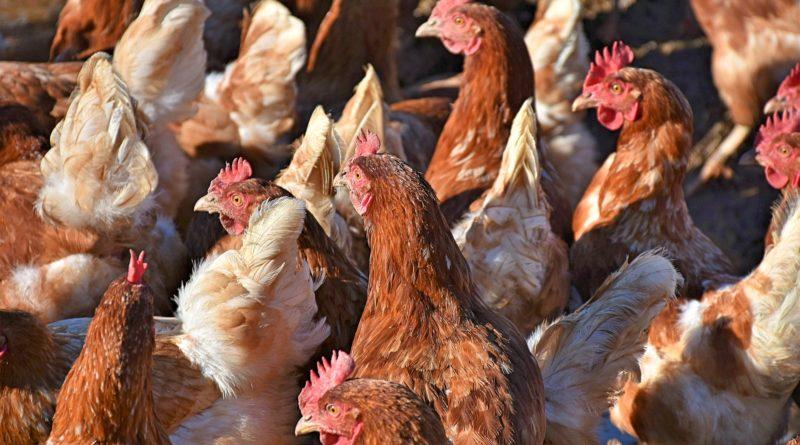bio-hühner
