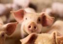 Die Macht der Bilder: Verbraucher bewerten Tierwohl optisch