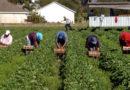 Erntehelfer: Diese Rechte und Pflichten haben Arbeiter und Betriebe