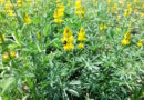 Futtermittel: Forscher wollen Gelbe Lupine wiederbeleben