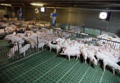 Schweine, Rinder, Schafe: Tierbestände sind rückläufig
