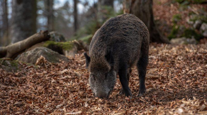 Afrikanische Schweinepest: Weitere Fälle in Brandenburg